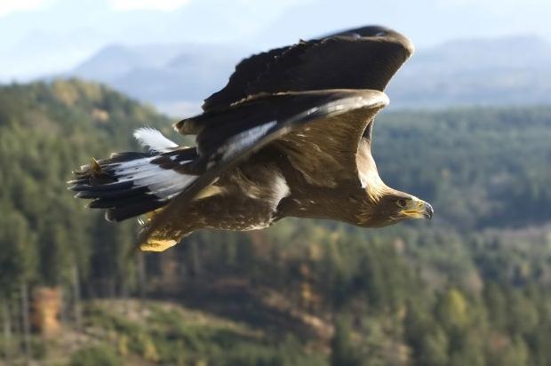 Golden-eagle-flying